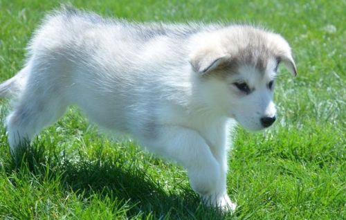 Alaskan Malamute Puppies for sale in Seattle, WA, USA. price 300USD