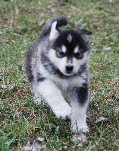 Alaskan Malamute Puppies for sale in Boston, MA, USA. price -USD
