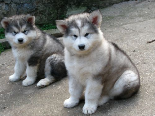Alaskan Malamute Puppies for sale in Little Elm, TX, USA. price 440USD