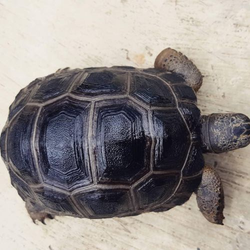 Aldabra Giant Tortoise Reptiles for sale in Maryville, TN, USA. price 520USD