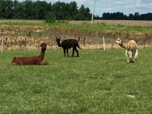 Alpaca Animals for sale in Cloverdale, OH 45827, USA. price 600USD