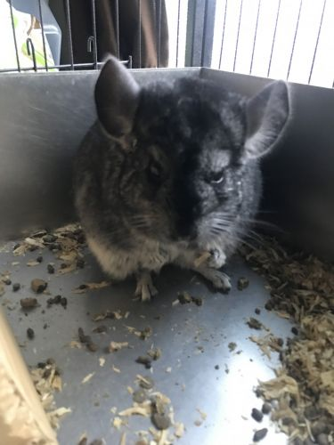 Altiplano Chinchilla Mouse Rodents for sale in Hawthorne, CA, USA. price 300USD