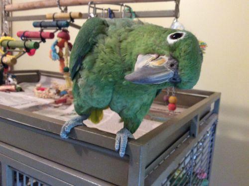 Amazon Birds for sale in Chesaning, MI 48616, USA. price 1000USD
