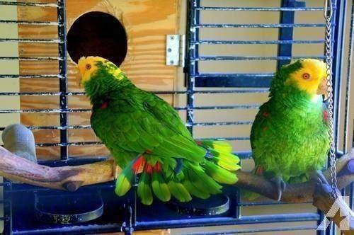 Amazon Birds for sale in Vero Beach, FL, USA. price 600USD