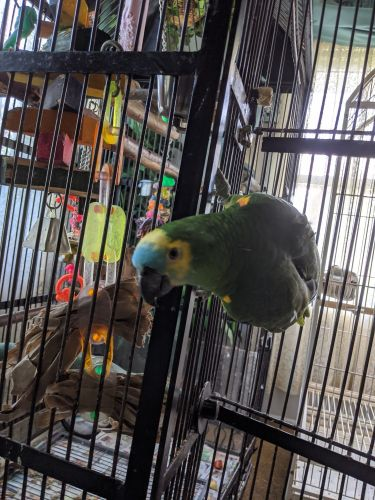 Amazon Birds for sale in Abingdon, MD, USA. price 2000USD