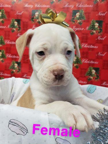 American Bulldog Puppies for sale in 3100 Boardwalk Dr, Saginaw, MI 48603, USA. price 299USD