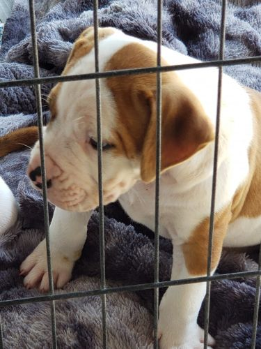 American Bulldog Puppies for sale in Coffeyville, KS 67337, USA. price 1200USD