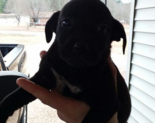 American Bully Puppies for sale in Benton, AR, USA. price 75USD