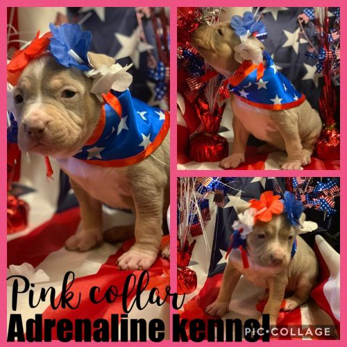 American Bully Sale United States | Hoobly US