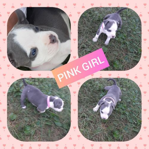 American Bully Puppies for sale in Keokuk, IA 52632, USA. price 1200USD