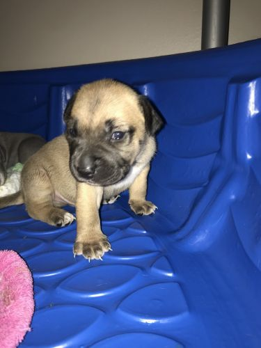 American Bully Puppies for sale in Topeka, KS, USA. price 175USD