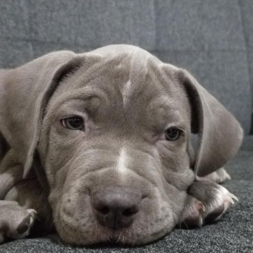 American Bully Puppies for sale in The Bronx, NY, USA. price -USD