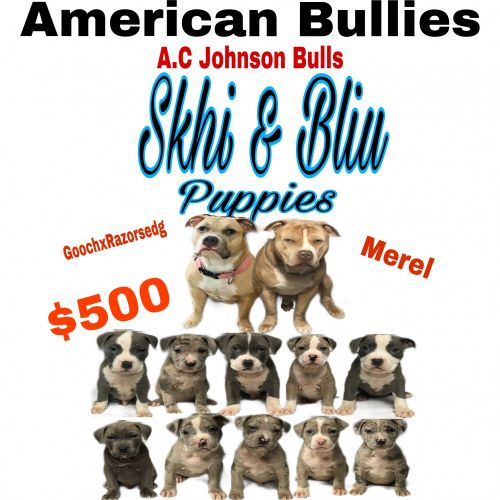 American Bully Puppies for sale in North Charleston, SC, USA. price 500USD