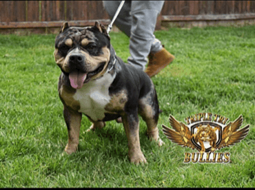 American Bully Puppies for sale in Paulsboro, NJ 08066, USA. price -USD