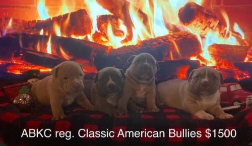 American Bully Puppies for sale in Bedias, TX 77831, USA. price 1200USD