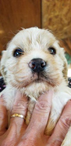 American Cocker Spaniel Puppies for sale in Ruther Glen, VA 22546, USA. price -USD
