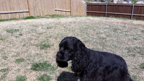 American Cocker Spaniel Puppies for sale in Fort Worth, TX, USA. price 450USD