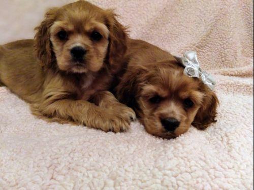 American Cocker Spaniel Puppies for sale in Fenton, MI, USA. price 700USD