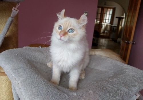 American Curl Cats for sale in U CA-99, Biggs, CA 95917, USA. price 200USD
