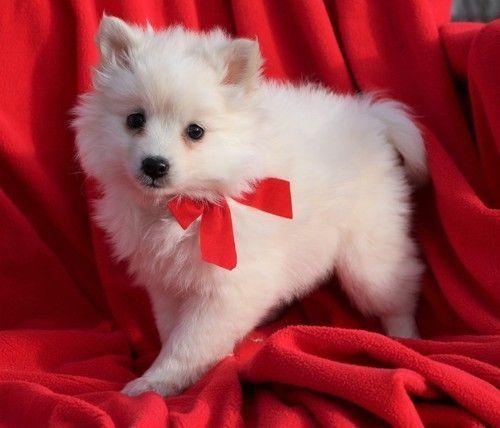 American Eskimo Dog Puppies for sale in Fresno, CA, USA. price 600USD