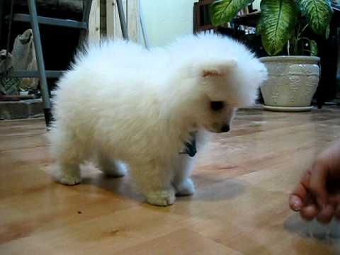 American Eskimo Dog Puppies for sale in Austin, TX, USA. price -USD