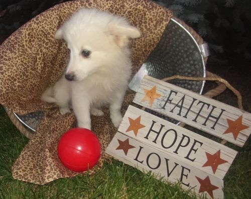 American Eskimo Dog Puppies for sale in New Haven, IN, USA. price 400USD
