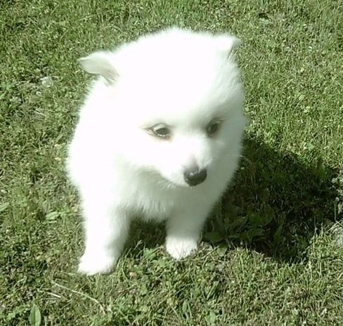 American Eskimo Dog Puppies for sale in Glasgow, KY 42141, USA. price -USD