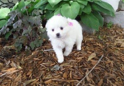American Eskimo Dog Puppies for sale in Boston, MA, USA. price -USD