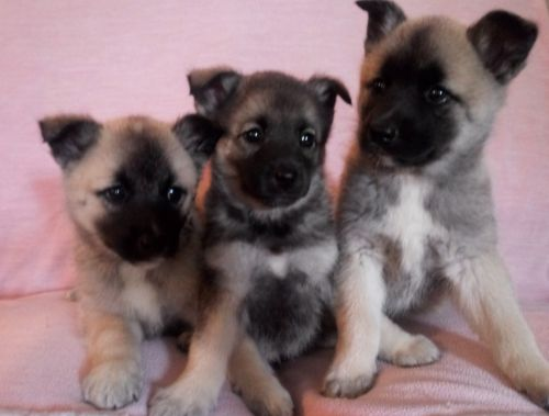 American Eskimo Dog Puppies for sale in Clio Rd, Clio, MI, USA. price 300USD