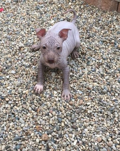 American Hairless Terrier Puppies for sale in Fresno, CA, USA. price 600USD