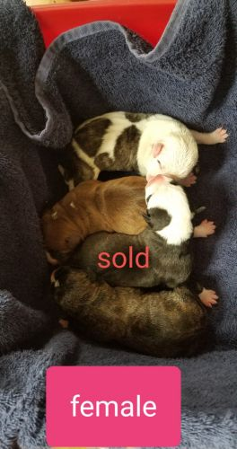 Holland Lop Rabbits Sale | Cumberland, MD #3306 | Hoobly US