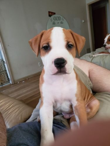 American Pit Bull Terrier Puppies Sale | Austin, TX #5319