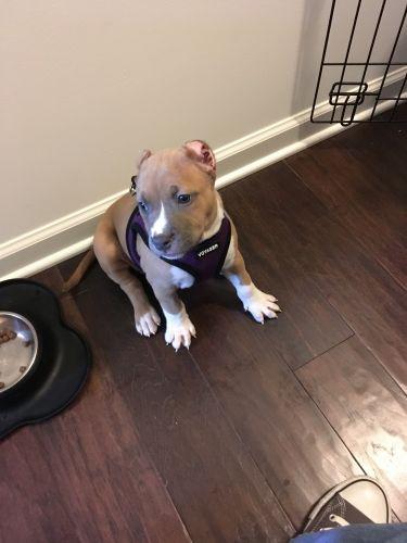 American Pit Bull Terrier Puppies Sale | Atlanta, GA #2554