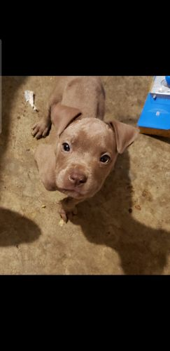 American Pit Bull Terrier Puppies for sale in Omaha, NE, USA. price 150USD