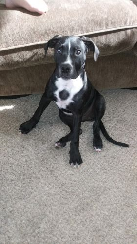 American Pit Bull Terrier Puppies for sale in Mesa, AZ 85207, USA. price 40USD