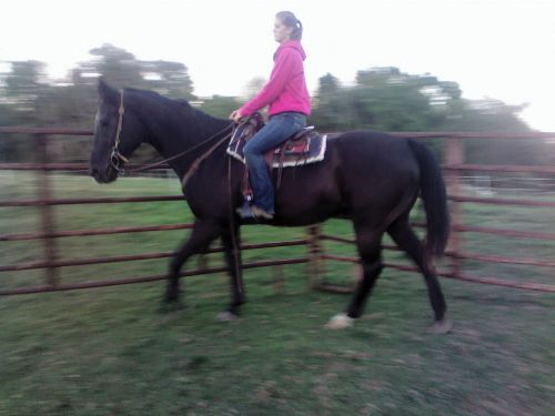 American Quarter Horse Horses for sale in 4945 OH-514, Glenmont, OH 44628, USA. price 900USD