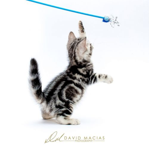American Shorthair Cats for sale in Riverside, CA, USA. price -USD