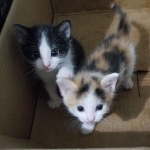 American Shorthair Cats for sale in Philadelphia, PA, USA. price 40USD