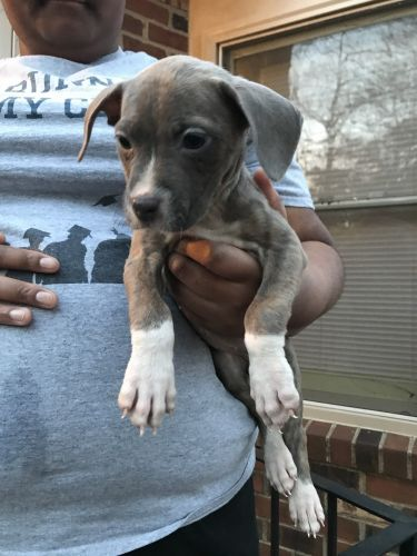 American Staffordshire Terrier Puppies for sale in Yorktown, VA 23690, USA. price 250USD
