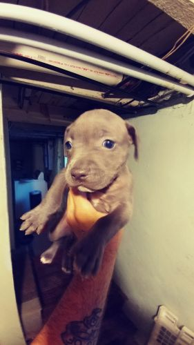 American Staffordshire Terrier Puppies for sale in Philadelphia, PA 19128, USA. price 500USD