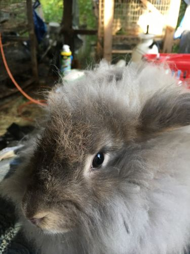 Angora rabbit Rabbits for sale in Statesville, NC, USA. price 30USD