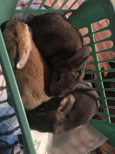 Angora rabbit Rabbits for sale in Statesville, NC, USA. price 100USD