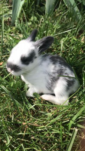 Angora rabbit Rabbits for sale in Lebanon, OH 45036, USA. price 200USD