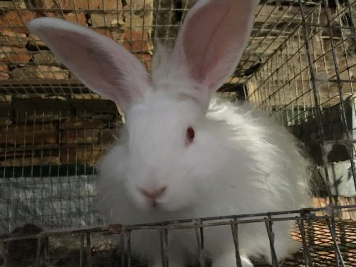 Angora rabbit Rabbits for sale in Statesville, NC, USA. price 60USD