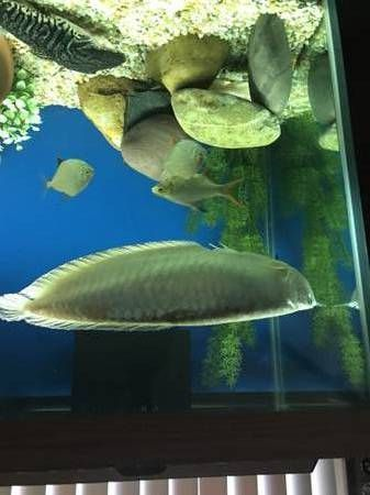 Arowana Fishes for sale in Boardman, OR 97818, USA. price -USD