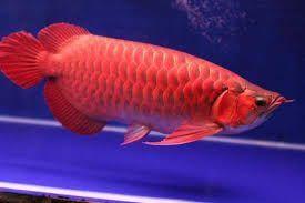 Arowana Fishes for sale in Dallas, TX, USA. price 500USD