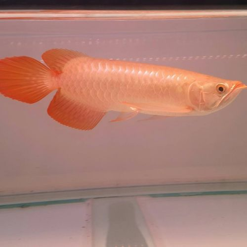 Arowana Fishes for sale in Corpus Christi, TX, USA. price 250USD