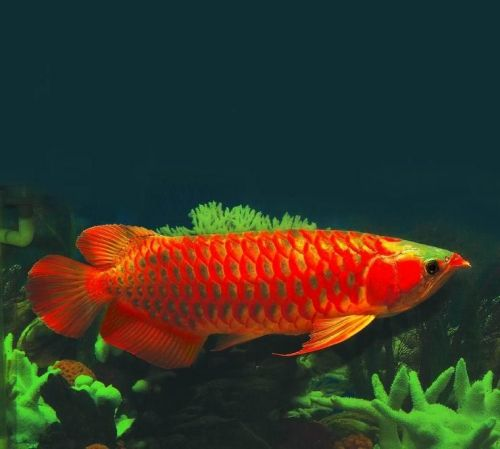Arowana Fishes for sale in Lufkin, TX, USA. price 300USD