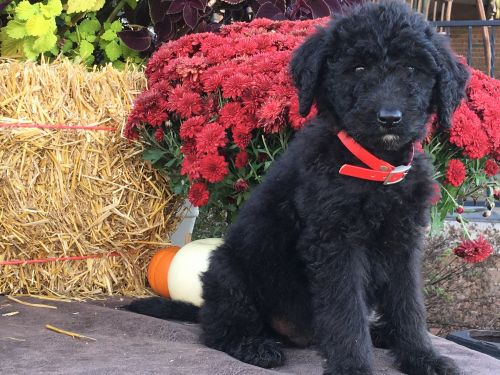 Aussie Doodles Puppies for sale in Navarre, OH 44662, USA. price 375USD