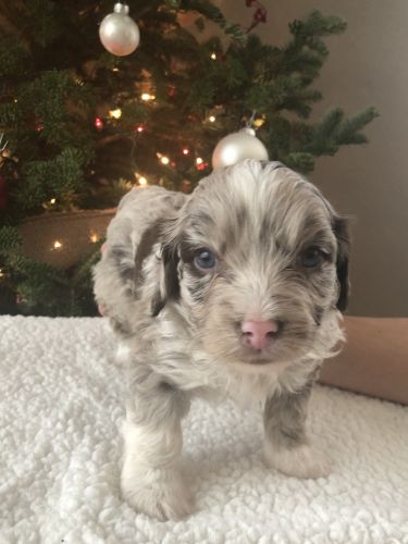 Aussie Doodles Puppies for sale in Archbold, OH 43502, USA. price 1400USD